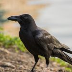 Crow symbolism and its Spiritual meaning